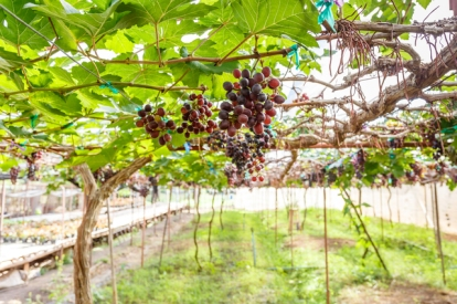 branch young grapes on vine in vineyard